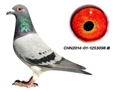 精品种鸽 芬尼卡5000  近亲回血