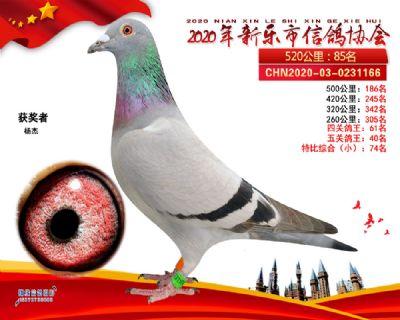 五关鸽王40