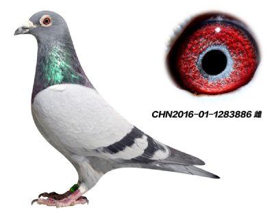 冠军家族 林波尔 公牛号 特留种鸽