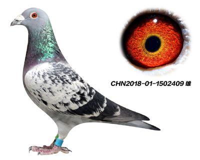 原环子代 杨欧瓦克484  特留种鸽