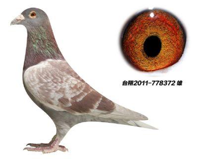 引进 台湾种鸽 明月詹森红狐 近亲
