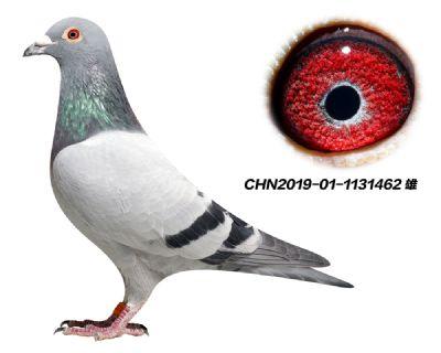 推荐 多关赛 杨欧瓦克484 特留种鸽