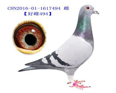 压轴种鸽,北京爱亚卡普作育【好雌494】后代5羽进奖