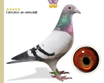 鸽主推荐 胡本年轻艺术家 作育出3羽鸽王11羽前十