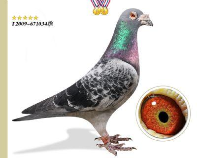 台湾詹森 镇棚功勋种鸽