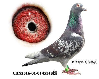 【引进】唐山银水种鸽