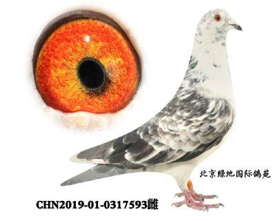 鲁道、克拉森小白12种鸽