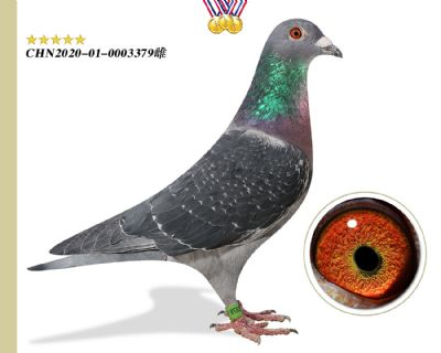 推荐 胡本匹诺曹 本舍臻品种鸽