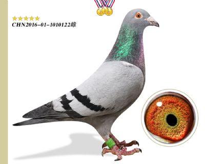 林波尔公牛号 臻品种鸽
