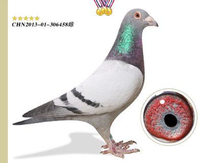 功勋种鸽 林波尔公牛号作育出十多羽获奖成绩鸽