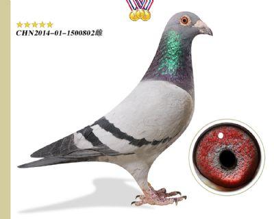 林波尔公牛号 作育出3羽前十,一羽鸽王