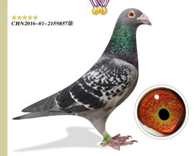 胡本匹诺曹 作育出2羽前十 本舍臻品种鸽
