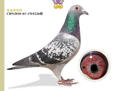 奥林匹克003 半平辈花香国际鸽王9名