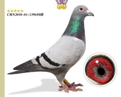 林波尔公牛号 子代多羽进奖成绩鸽
