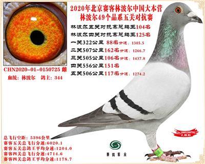 20林波尔中国大本营49个品系近亲配对五关总鸽王104名
