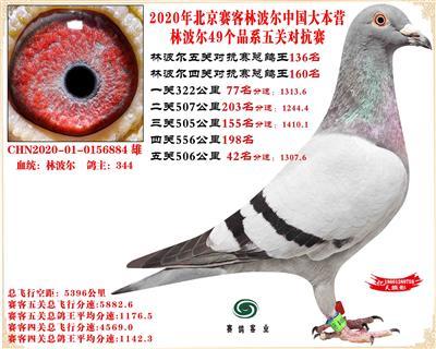 20林波尔中国大本营49个品系近亲配对五关总鸽王136名