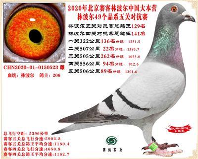 20林波尔中国大本营49个品系近亲配对五关总鸽王129名