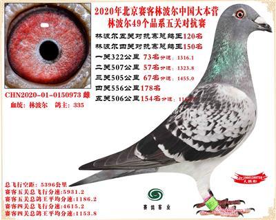 20林波尔中国大本营49个品系近亲配对五关总鸽王120名