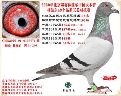 20林波尔中国大本营49个品系近亲配对五关总鸽王118名