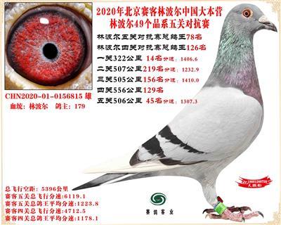 20林波尔中国大本营49个品系近亲配对五关总鸽王78名