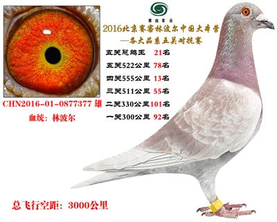 16北京赛客开创铁鹰8400羽四关对抗分速排名21名