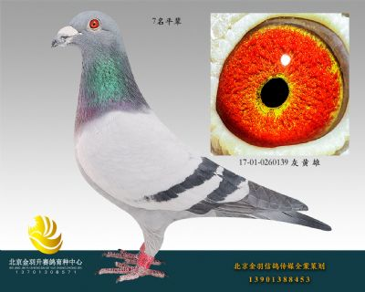 (08)金五环亚军直子 17-01-0260139 灰 黄 雄