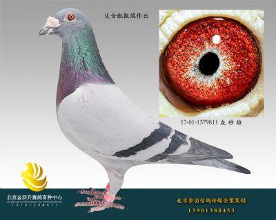(10)三关鸽王冠军直子 17-01-1579811 灰 砂 雄