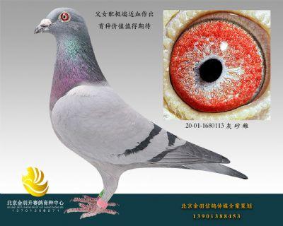 (28)三关鸽王冠军直女 20-01-1680113 灰 砂 雌