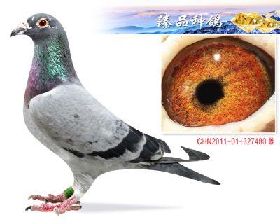 镇棚种鸽 吉林克斯 席维斯特 子代前十几十羽