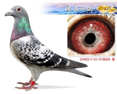 詹森019 子代发挥多羽 种雌