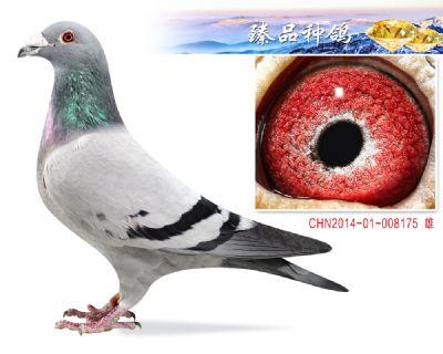 胡本年轻艺术家 子代3羽鸽王