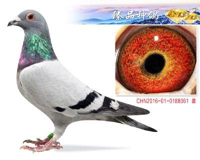 胡本年轻艺术家 子代2羽鸽王3羽前十