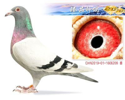 胡本年轻艺术家 特留种鸽