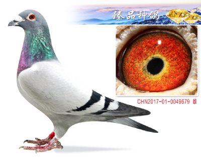 胡本年轻艺术家 子代2羽鸽王