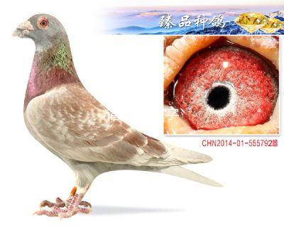 詹森红狐731 超级种雄 子代3羽鸽王