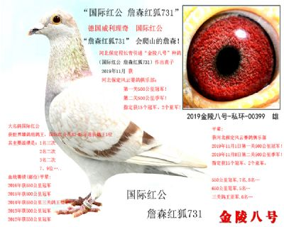 """5,""""国际红公 詹森红狐731""""精品种鸽"""