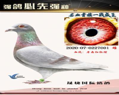 詹森红狐狸094近亲配海尔曼红狐(大雄)