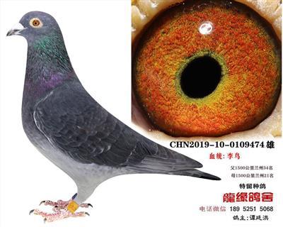李鸟种鸽1