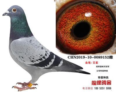 吴淞种鸽15