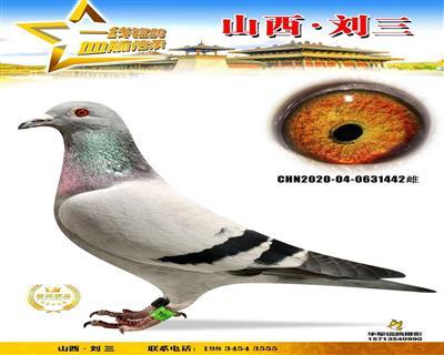 【德瓦・亚伯特×胡本】天津天立国际大棚归巢鸽