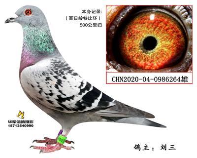 【胡本林波尔极度近亲】百日龄特比环归巢鸽
