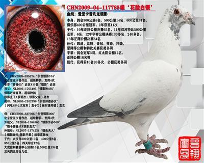 银影超级种鸽,作出多羽奖鸽(推荐)