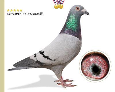 特别推荐 林波尔公牛号 鸽王平辈特留种鸽