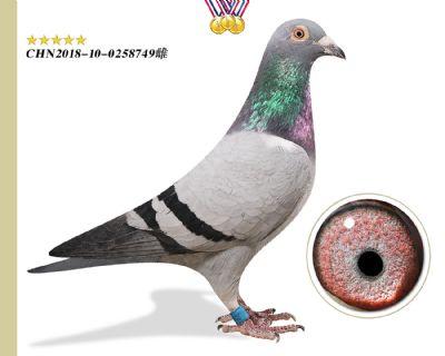 林波尔 引进种鸽
