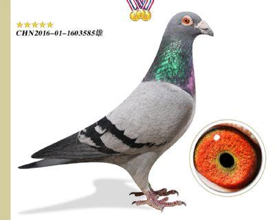 胡本年轻艺术家 鸽王平辈臻品种鸽