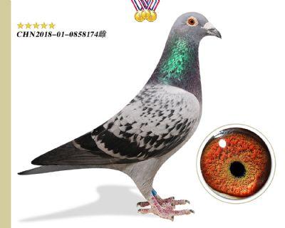 特别推荐 奥林匹克003 花香国际鸽王9名全平辈