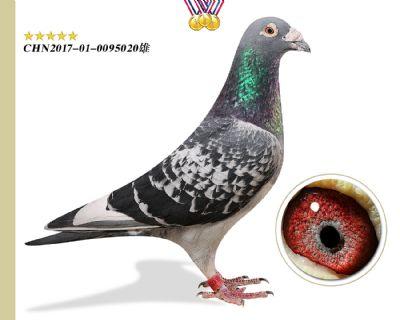 臻品奥林匹克003 鸽主推荐