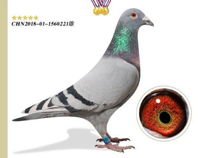 胡本年轻艺术家 特留育种种鸽