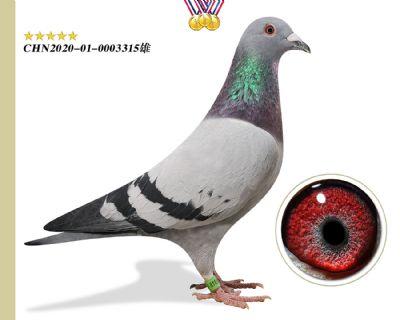 特别推荐 林波尔公牛号 臻品特留种鸽