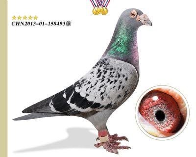 臻品推荐 奥林匹克003 作育出4羽鸽王12羽前十